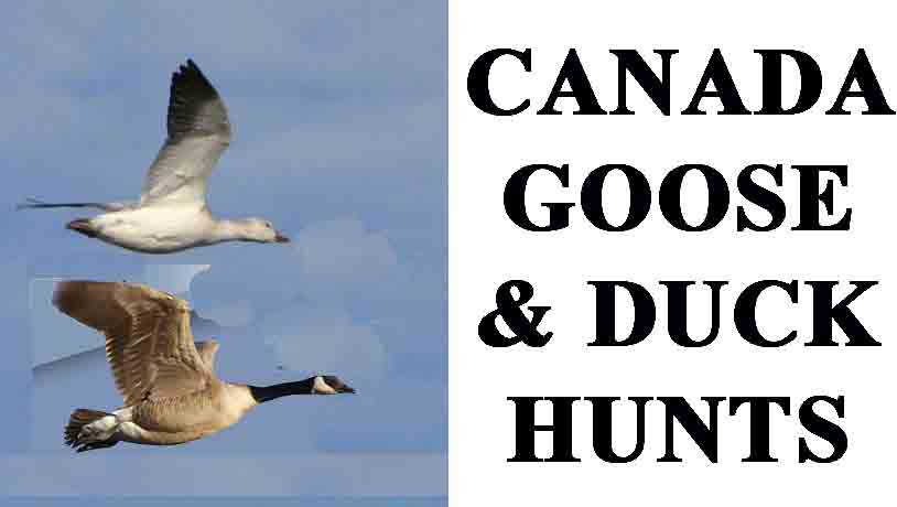 Guided Canada goose and duck hunting.  snow goose hunting guide in missouri, MN, SD